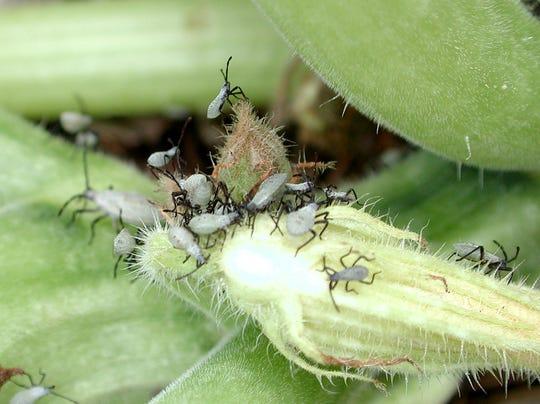 Squash bug nymphs on a squash blossom.