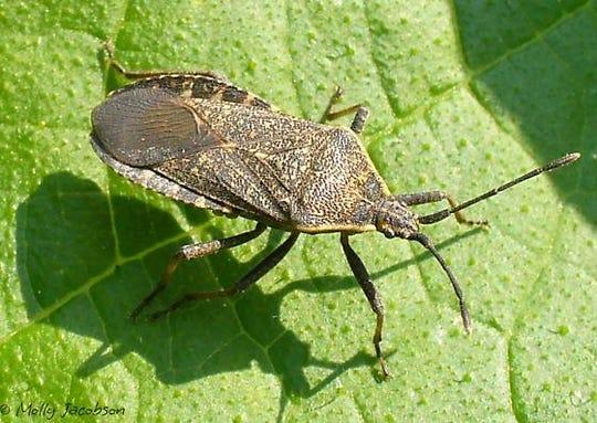 Mature squash bug