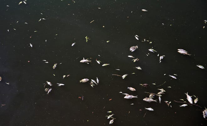 Dead fish float on the surface of the Concho River in downtown San Angelo on Thursday, June 25, 2020.
