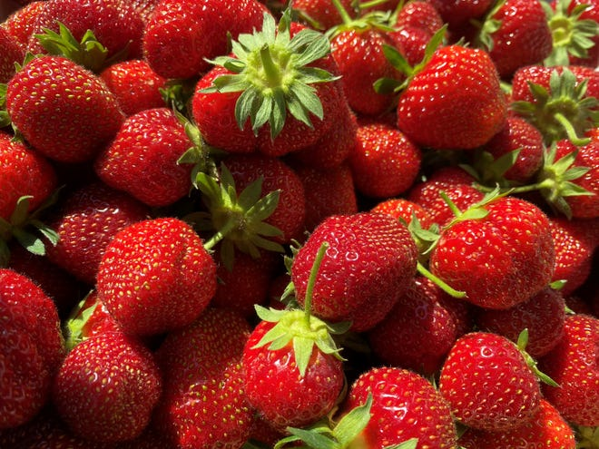 Freshly picked strawberries from Paul Mazza's in Essex on June 26, 2020.