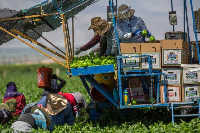 Farmworkers pick chiles in Mecca, Calif., in late April. They work in close proximity despite COVID-19.