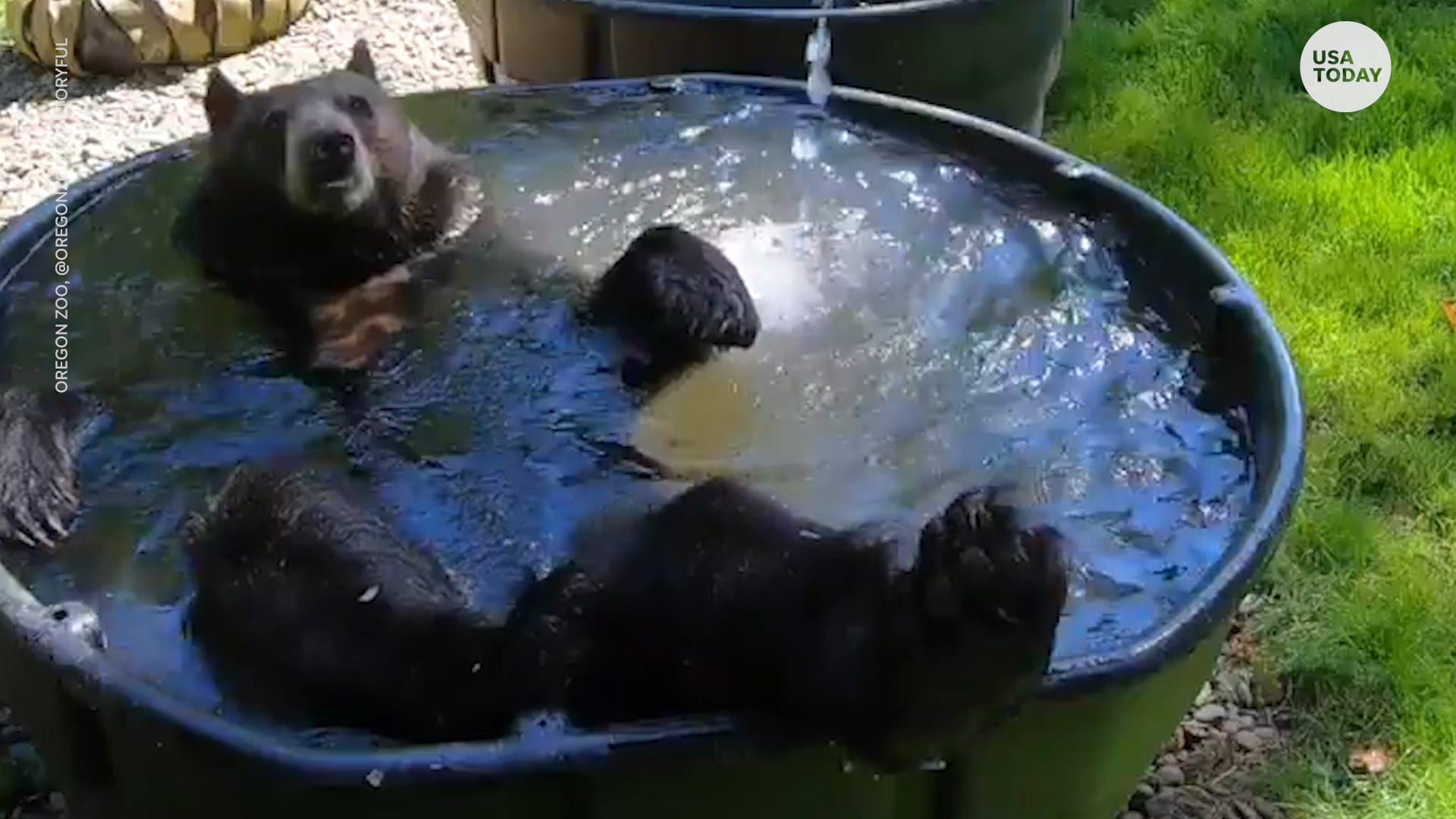 This 400-pound black bear had a fun day at the Oregon Zoo playing in a wading pool