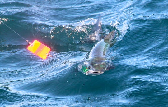 A coho salmon is reeled in on a Lake Michigan fishing trip off Oak Creek. The fish hit a green fly trolled behind an orange dodger.