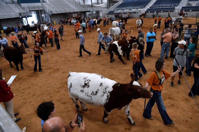 Families and participants guide their heifers into the show arena during Saturday's National Junior Shorthorn Show at the Taylor County Expo Center.