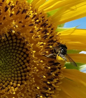Sunflowers are beautiful, produce tasty seeds and are a favorite of bees.