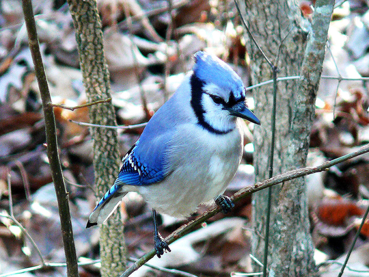 Blue jay are an example of colorful birds' plumages.