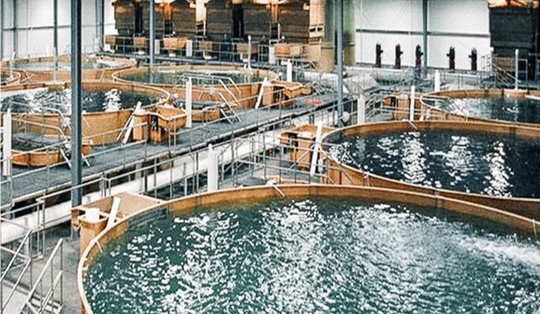 AquaBounty salmon are grown out in large, recirculating tanks each holding nearly 70,000 gallons of water
