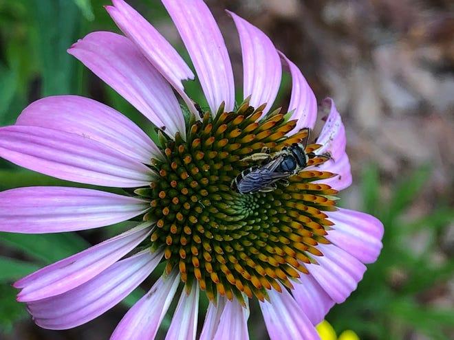 Native bees on purple coneflower.