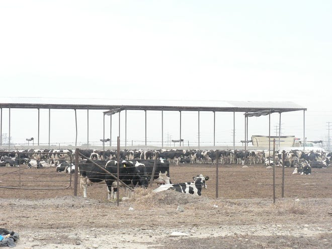 In my early visits to California, the corrals with hundreds of cows, sided by side in the Chino Valley were a surprising sight.