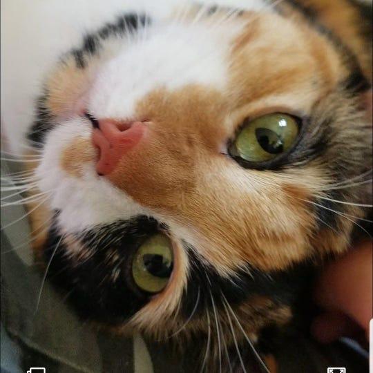 Meet a calico cat named Callie.