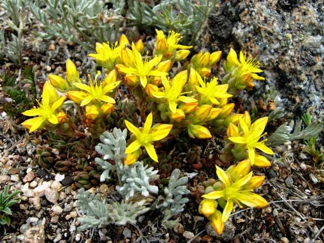 Lance-leaf stonecrop grows in the Rocky Mountains of Colorado.