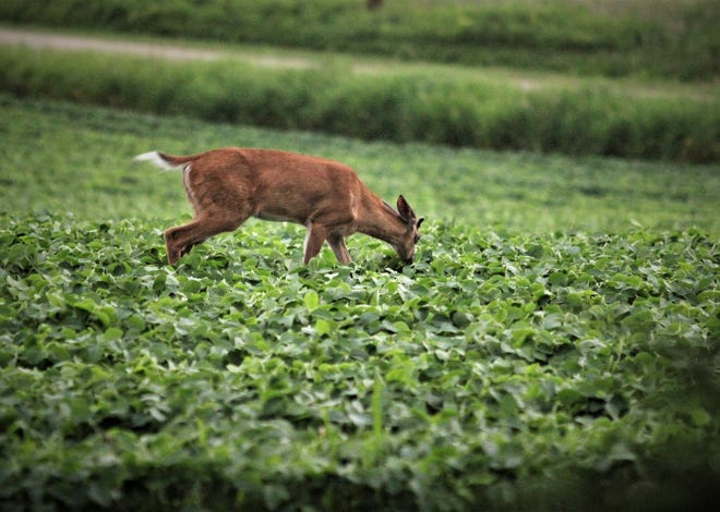 Landowners in Buffalo County sounded the alarm to Wisconsin Department of Natural Resources officials after observing nearly three dozen dead deer north of Fountain City near the Wisconsin Minnesota border.