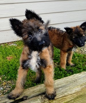 Belgian Laekenois puppies from Coswald Kennel