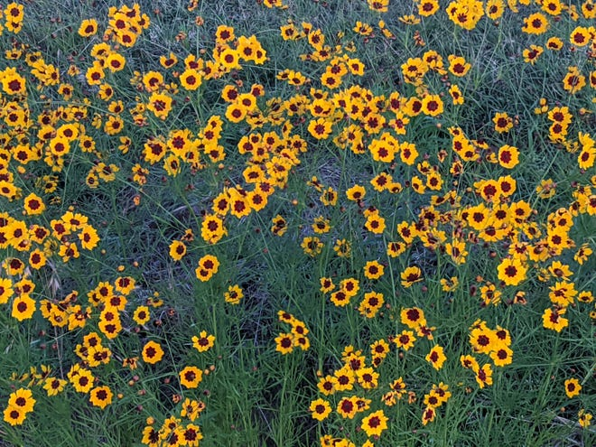 Fireworks of Coreopsis