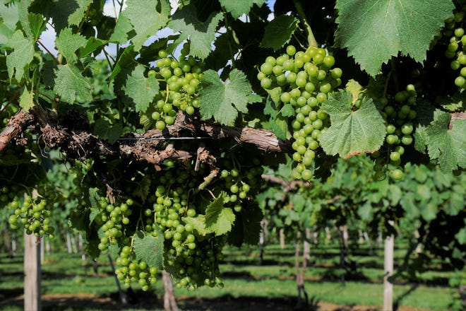 Grape vines are a woodland, tendril climbing, survivor species. In the wild, seeds are principally spread by birds who eat berries, then excrete seeds while perched in trees.