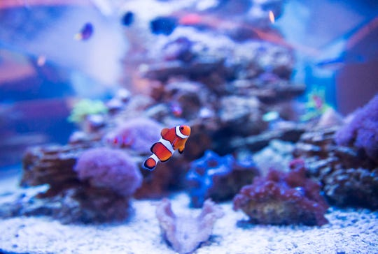 A clown fish is seen in a new exhibit  with live mollusks and coral at the Bailey-Matthews National Shell Museum on Sanibel Island on Wednesday, July 1, 2020. The museum went through a six million dollar renovation which includes many more exhibits including aquariums and a touch tank..