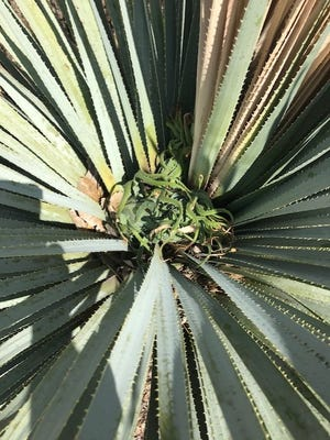 Caused by fasciation, a cluster of abnormal leaves instead of a tall flower stalk is growing from the center of this sotol plant.