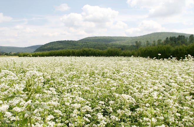 A field of flowering buckwheat stretches in the distance at the U.S. Department of Agriculture's Plant Materials Center in Big Flats in 2005.