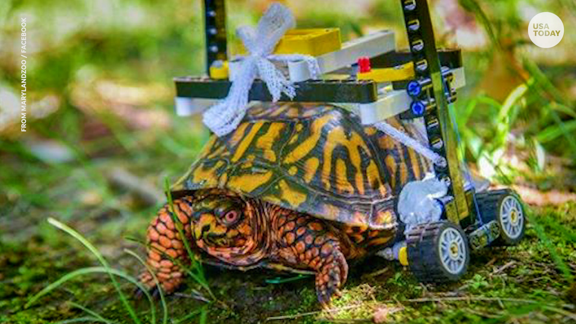 Injured turtle with Lego wheelchair recovers and is released back to wild