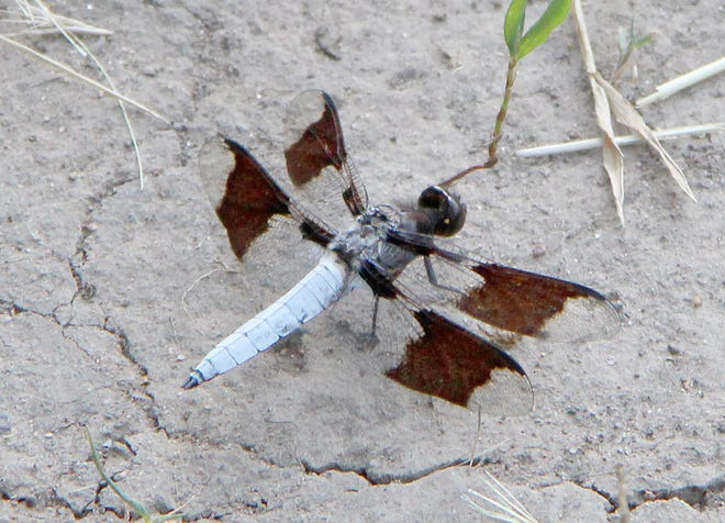 A dragonfly, also known as a common whitetail or long-tailed skimmer, stands on dry earth before taking to wing as hikers use the Green Recreation trail. They are most frequently seen in a clearing near the northeast corner of the Pratt hiking trail.