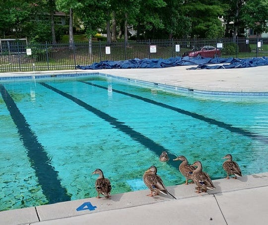 Where's the race? Lake Tomahawk resident ducks decide which lane to use for their own race July 2, 2020, at the closed Black Mountain Pool.