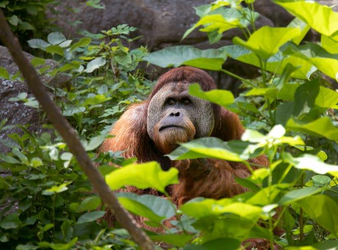 This Sumatran orangutan watches the visitors while they watch him, Thursday, July 2, 2020 at the Cincinnati Zoo & Botanical Garden.