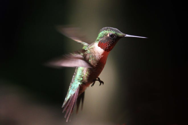 Now, during the beginning of hummingbirds' second-nest season, male ruby-throated hummingbirds again fly a U-shaped display pattern to attract mates.