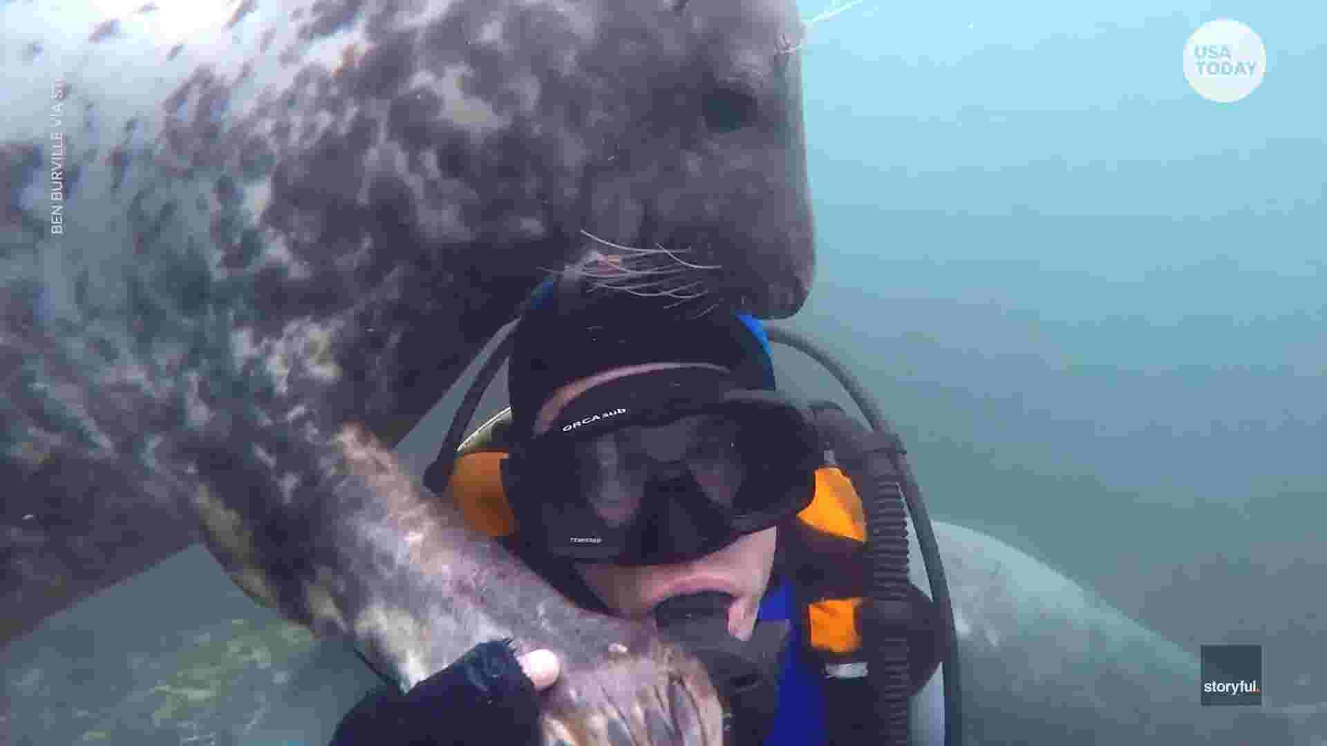 Curious grey seals get up close with an underwater visitor