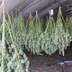 Mature, harvested marijuana plants hang to dry in an enclosure before growers got a chance to process and illegally ship the pot out of the area, according to the Siskiyou County Sheriff's Office.