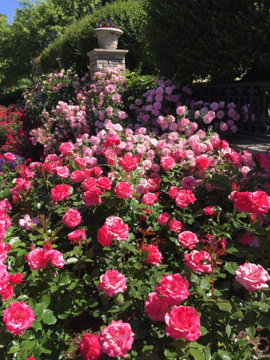 """Rose Love"""