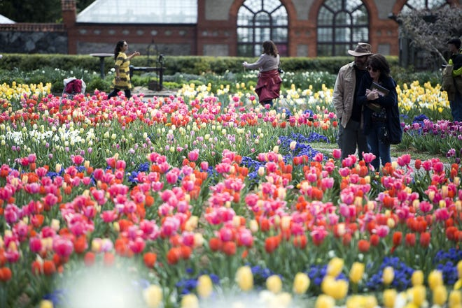 Visitors stroll among the tulips at Biltmore Estate in this file photo.
