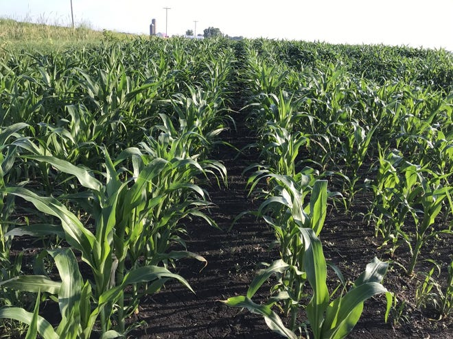 TheAcreageandGrainStocks reports, released on June 30,produced some surprises for the corn market as a drop in acreage spurred a rally in corn prices and injected some optimism into the corn outlook moving into the 2020 marketing year.