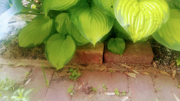Cool, shaded hostas are a favorite lounging spot for toads.