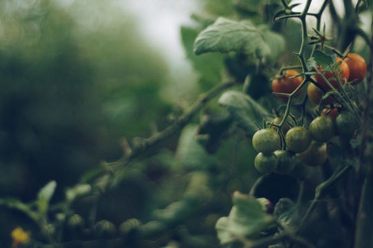 Tomatoes need nurturing, and lots of water, through heat and drought.