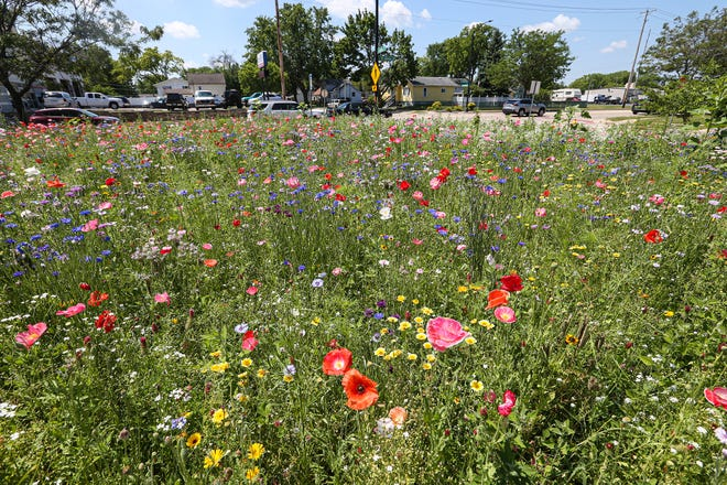 A vacant lot filled with wildflowers  at the corner of Johnson Street and Chestnut Street in the city of Fond du Lac was planted by resident Sam Meyer, just for the sheer joy of it.
