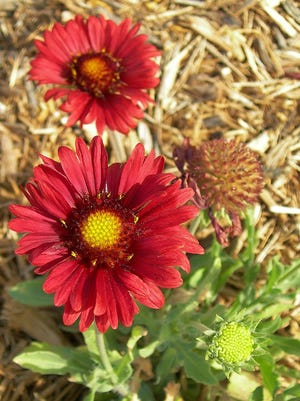 A good Florida native, Blanket flower or Gaillardia is heat and drought tolerant, easy to grow, good for ground cover, in mass plantings, along beach boardwalks, and for dune stabilization. Blanket Flower is a terrific butterfly attractant and is a good cut flower. It grows easily from seed and establishes fast. Deadhead to encourage a neater appearance and more flowering, however a few flower heads left in the stand to mature will attract seed-loving birds and grow new plants.