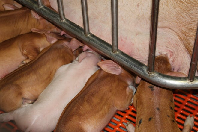 By implementing four sow management strategies into your swine business, prpoducers could save up to $5 per sow.
