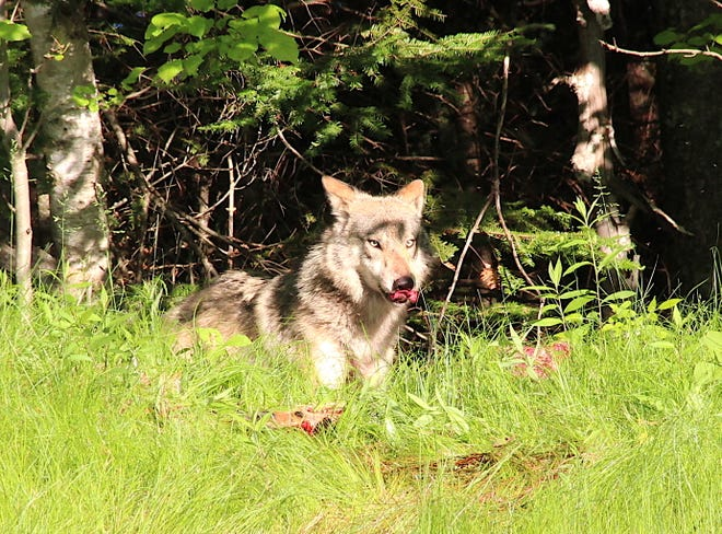 A gray wolf pauses while eating and dragging a deer carcass into a forest near Laona, Wis.