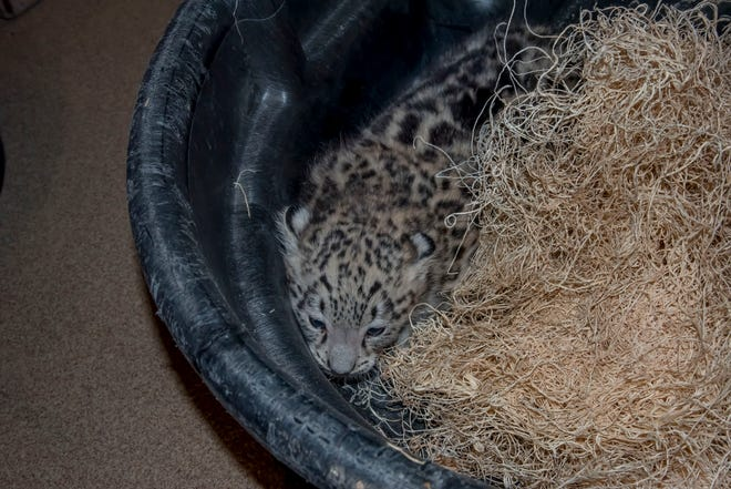 A baby snow leopard was born at the Milwaukee County Zoo. The baby does not yet have a name.