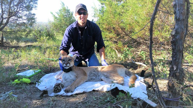 Randy Johnson poses with a mountain lion he captured and collared during research in North Dakota. Johnson was recently hired as large carnivore specialist by the Wisconsin Department of Natural Resources.