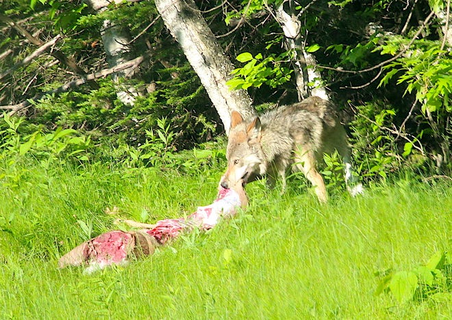 A gray wolf drags a white-tailed deer carcass into a forest near Laona, Wis. The deer was likely killed by a vehicle on a nearby highway.