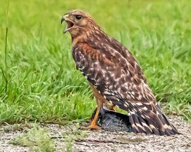 This red-shouldered hawk's scream echoes across Okeeheepkee Park in NW Tallahassee as it stands on and defends a bullhead catfish it caught at dawn.