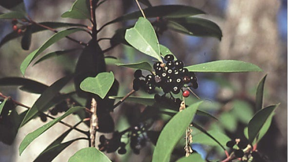 The appearance of Shoebutton Ardisia, a new, problem invasive plant,in parts of theBig Cypress National Preserve, has prompted an alert by Preserve authorities.