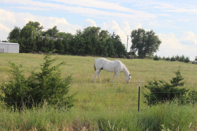 A healthy horse grazes in Pratt County, one county not yet affected by vesicular stomatitus that has emerged in three other Kansas counties in the past few weeks.