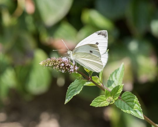 Cabbage white butterfly and how people see human emotions and actions in animals.