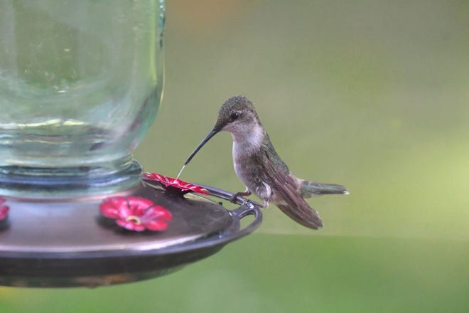 A hummingbird uses its long tongue to extract nectar from a feeder Monday morning in the Ontario area.