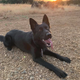 Hank, a young K-9 with the Redding Police Department, died July 9, 2020, after a short illness, believed to be cancer.