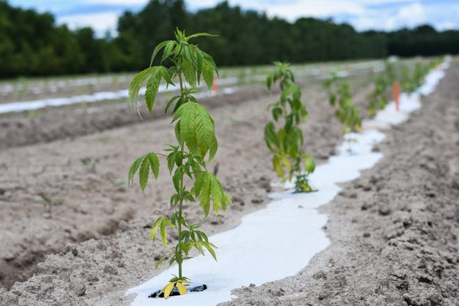 A hemp plant on Rylie Maedler's farm in Birdsnest, Va., Friday, July 10, 2020.