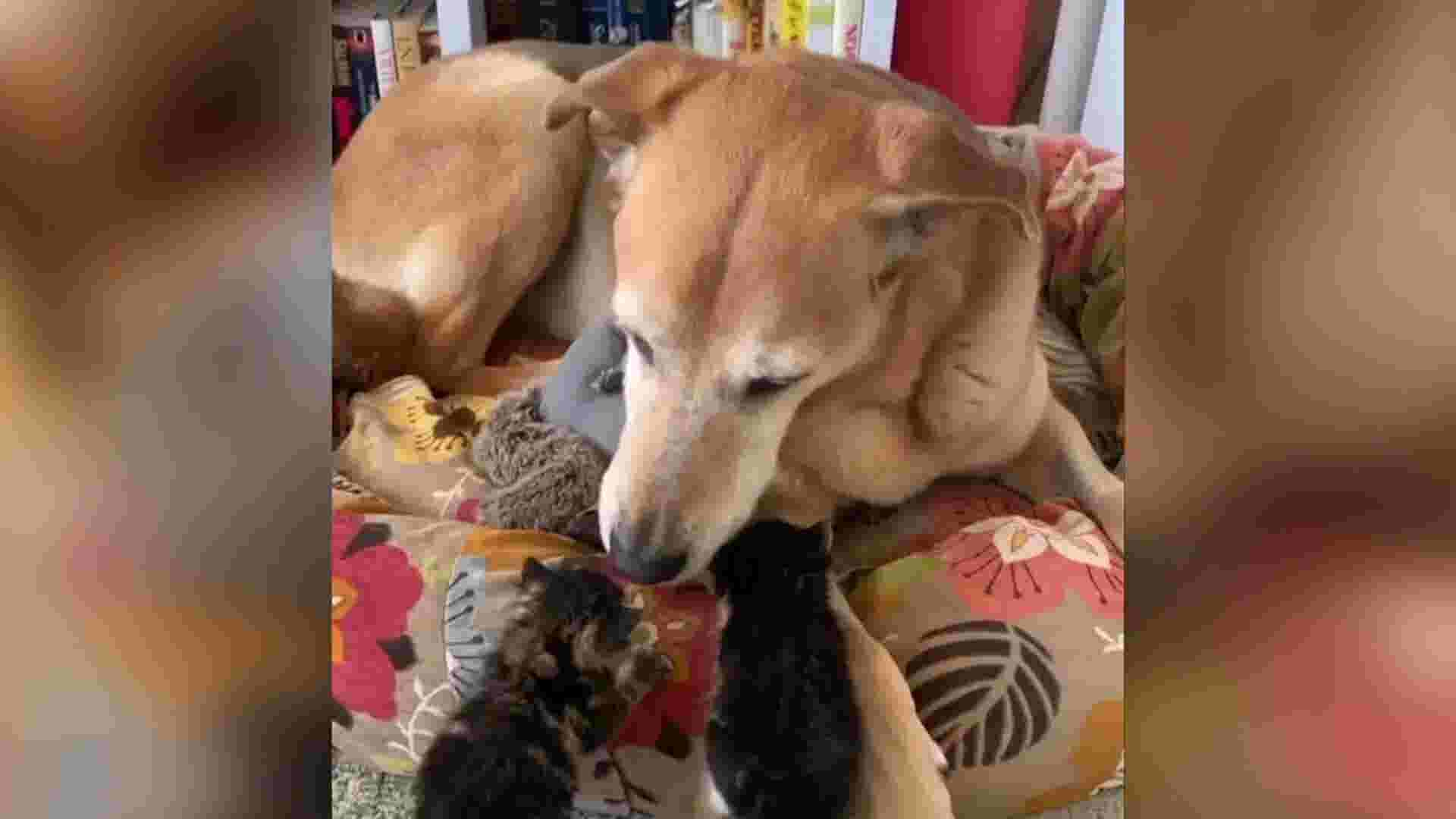 Former foster dog becomes foster dad to kittens