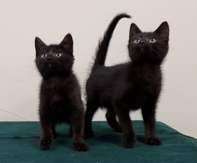 Two black kittens are awaiting a new home.